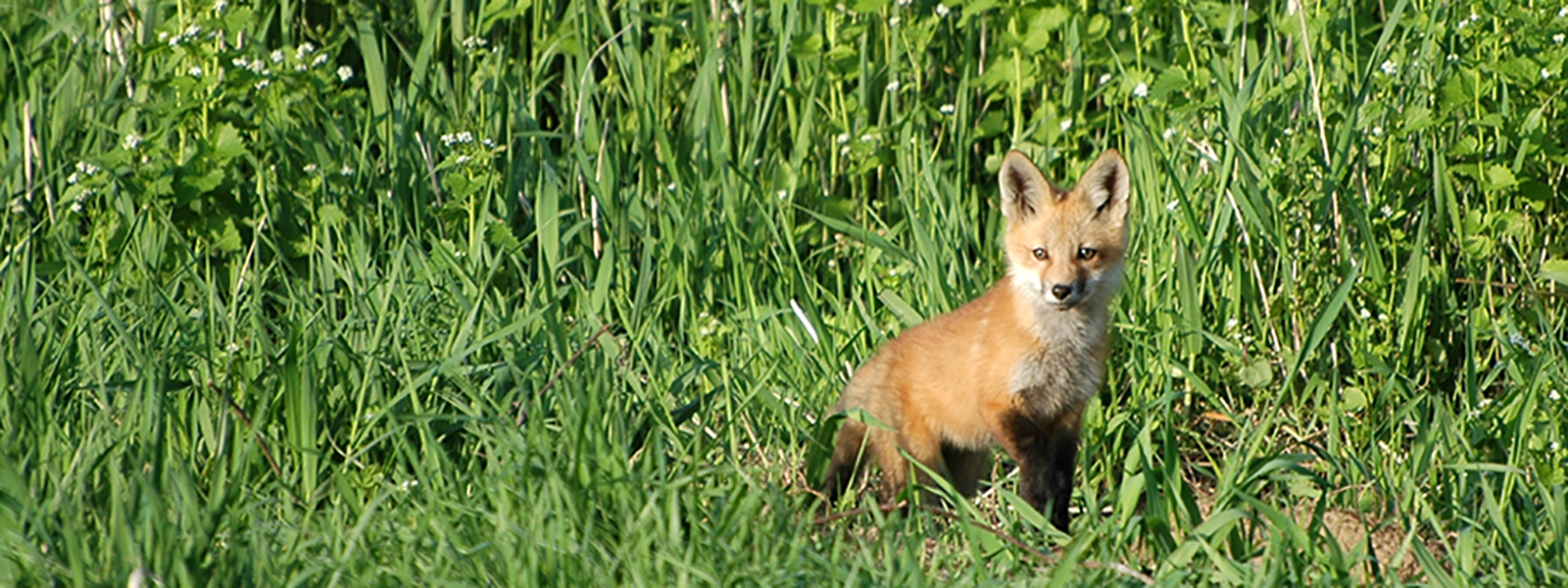 Zeb Albert - A Single Fox Cub - Wood County Park District