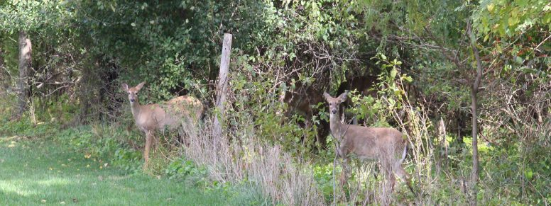 deer at Wood County Park District